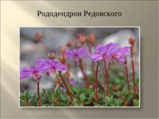Рододендрон Редовского