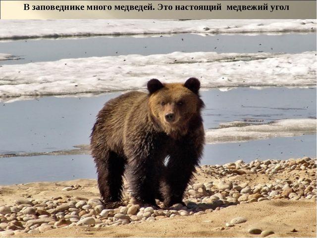 В заповеднике много медведей. Это настоящий медвежий угол