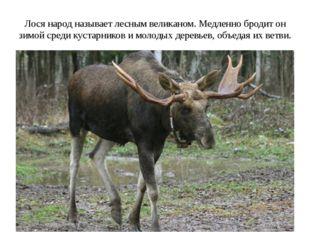 Лося народ называет лесным великаном. Медленно бродит он зимой среди кустарни