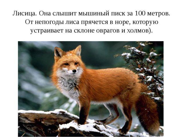 Лисица. Она слышит мышиный писк за 100 метров. От непогоды лиса прячется в но...