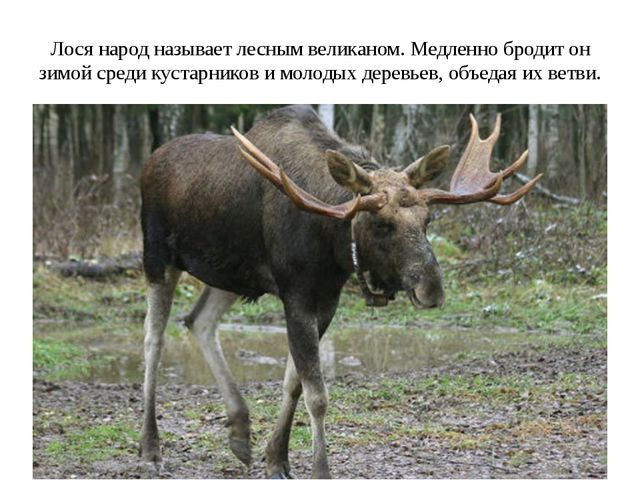 Лося народ называет лесным великаном. Медленно бродит он зимой среди кустарни...
