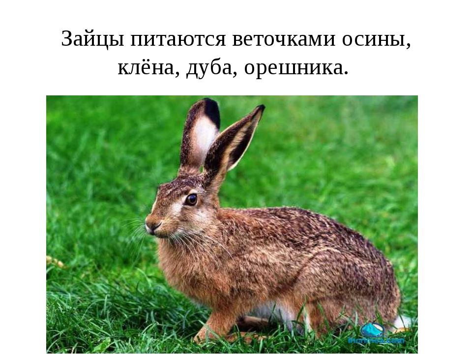Зайцы питаются веточками осины, клёна, дуба, орешника.