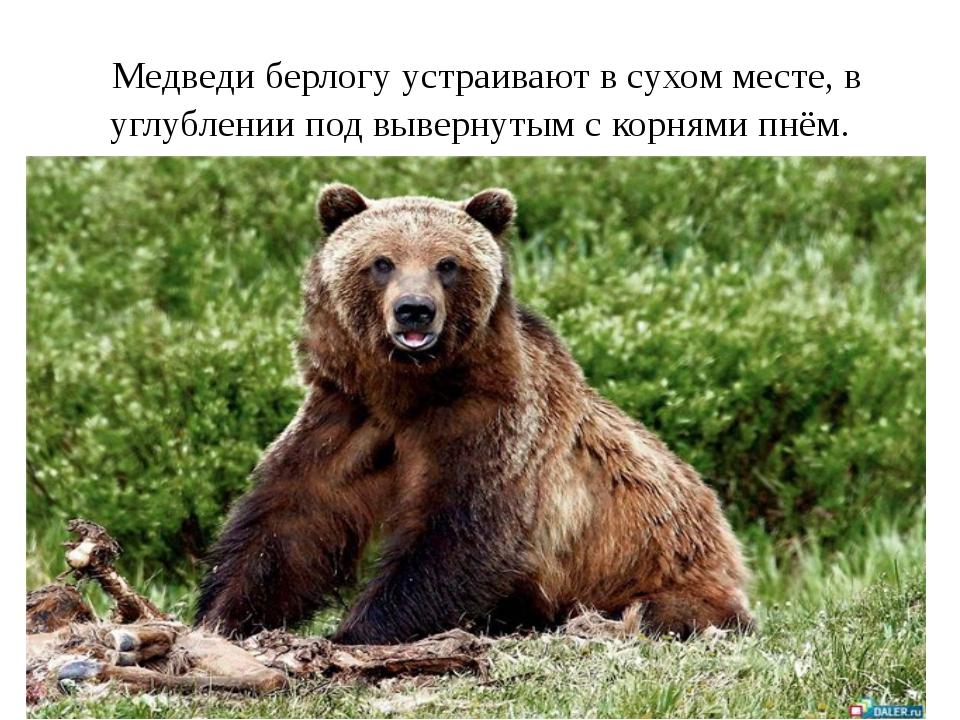 Медведи берлогу устраивают в сухом месте, в углублении под вывернутым с корн...
