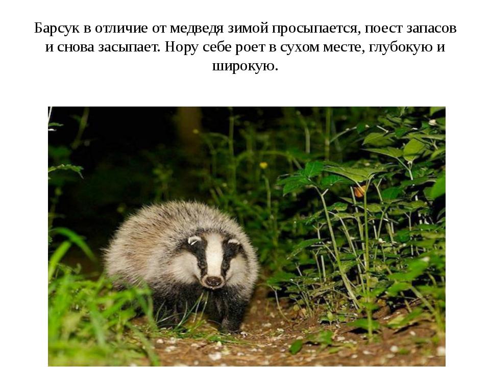 Барсук в отличие от медведя зимой просыпается, поест запасов и снова засыпает...