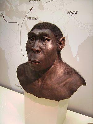 http://upload.wikimedia.org/wikipedia/commons/thumb/2/23/Homo_erectus.JPG/300px-Homo_erectus.JPG