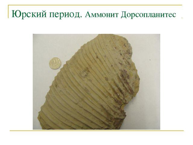 Юрский период. Аммонит Дорсопланитес
