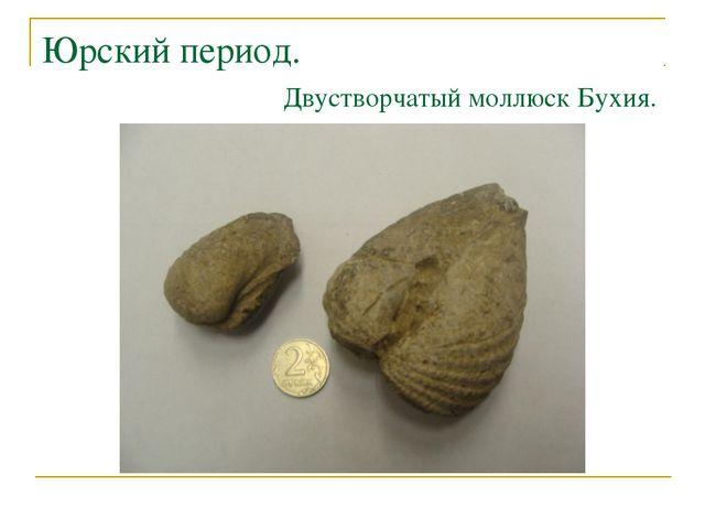 Юрский период. Двустворчатый моллюск Бухия.