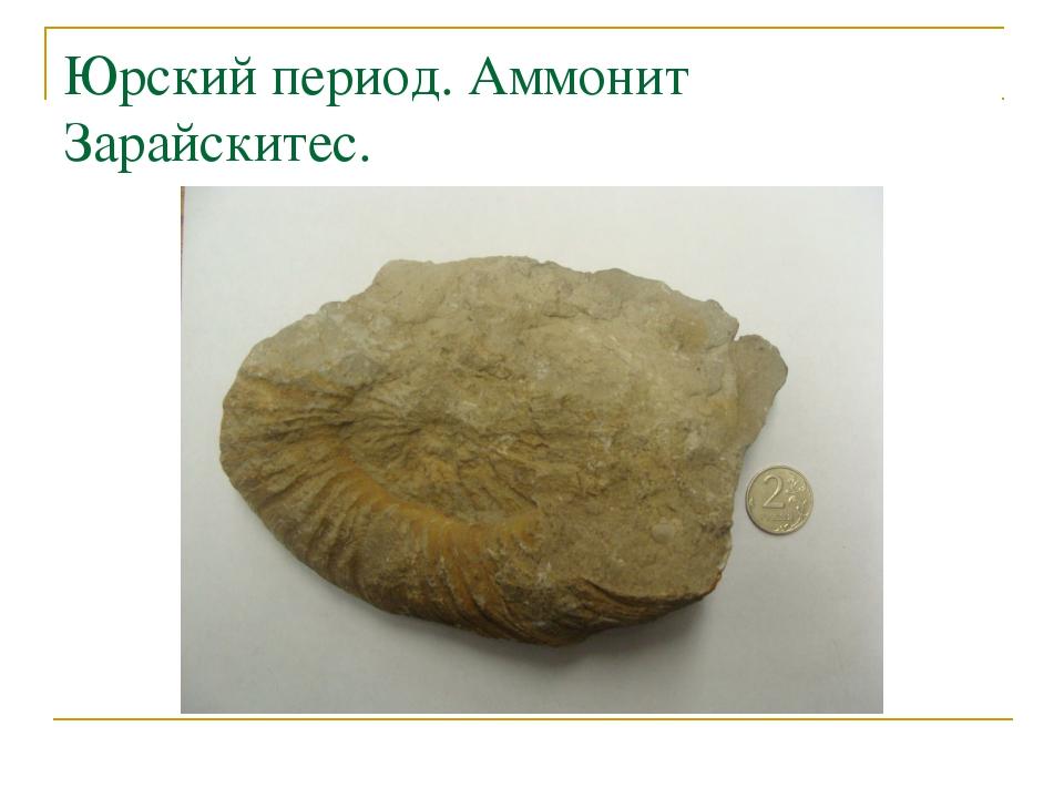 Юрский период. Аммонит Зарайскитес.