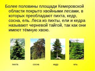 Более половины площади Кемеровской области покрыто хвойными лесами, в которых