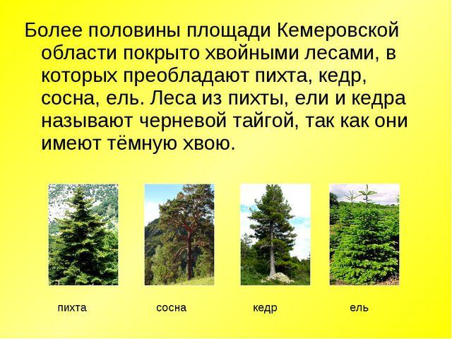 Более половины площади Кемеровской области покрыто хвойными лесами, в которых...