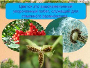 Цветок это видоизмененный укороченный побег, служащий для семенного размножен