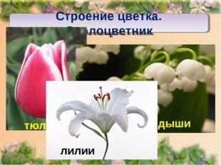Строение цветка. Околоцветник
