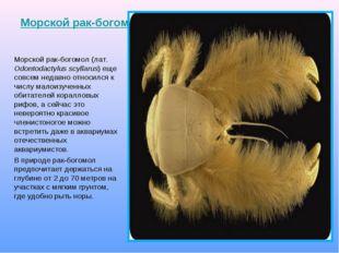 Морской рак-богомол Морской рак-богомол (лат. Odontodactylus scyllarus) еще с