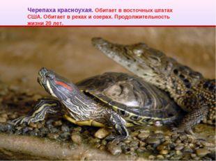 Черепаха красноухая. Обитает в восточных штатах США. Обитает в реках и озерах