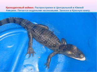 Крокодиловый кайман. Распространен в Центральной и Южной Америке. Питается во