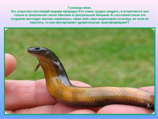 Гусеница-змея. Это существо настоящий шедевр природы! Его очень трудно увидет...