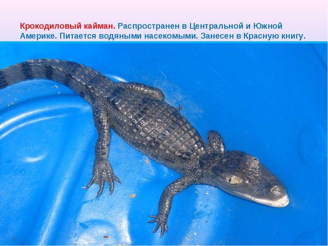 Крокодиловый кайман. Распространен в Центральной и Южной Америке. Питается во...