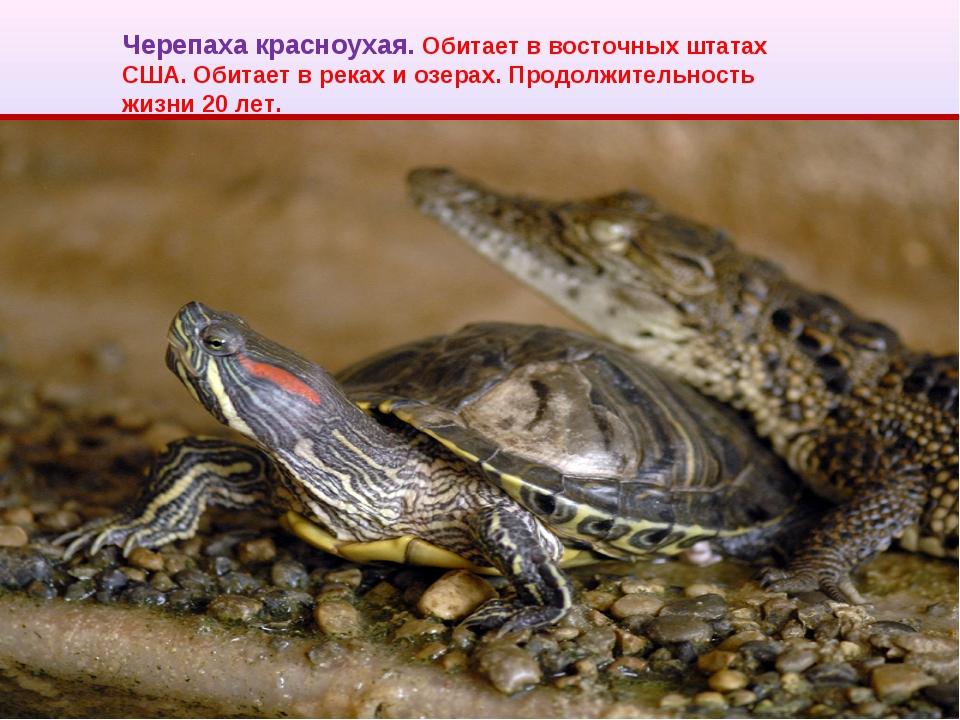 Черепаха красноухая. Обитает в восточных штатах США. Обитает в реках и озерах...