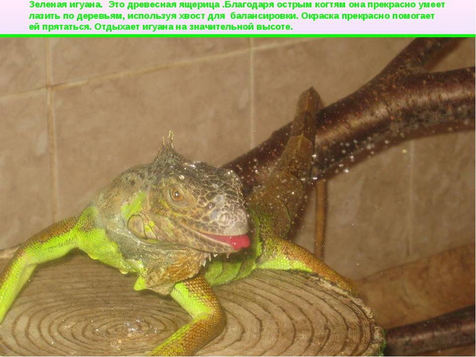 Зеленая игуана. Это древесная ящерица .Благодаря острым когтям она прекрасно...