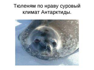 Тюленям по нраву суровый климат Антарктиды.
