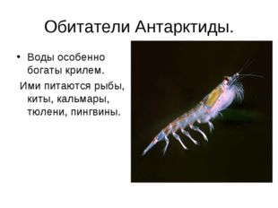 Обитатели Антарктиды. Воды особенно богаты крилем. Ими питаются рыбы, киты, к