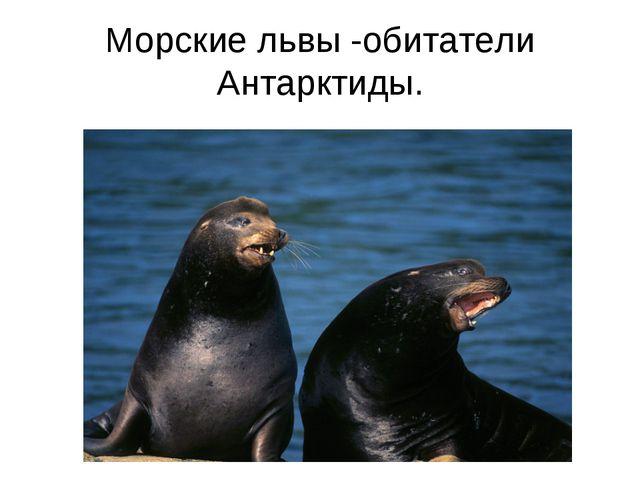 Морские львы -обитатели Антарктиды.