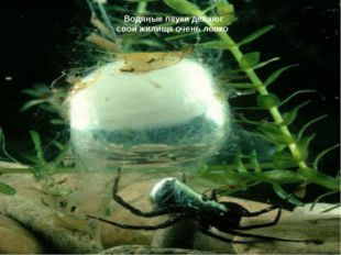 Водяные пауки делают свои жилища очень ловко
