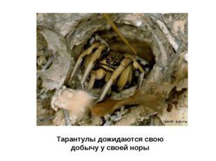 Тарантулы дожидаются свою добычу у своей норы