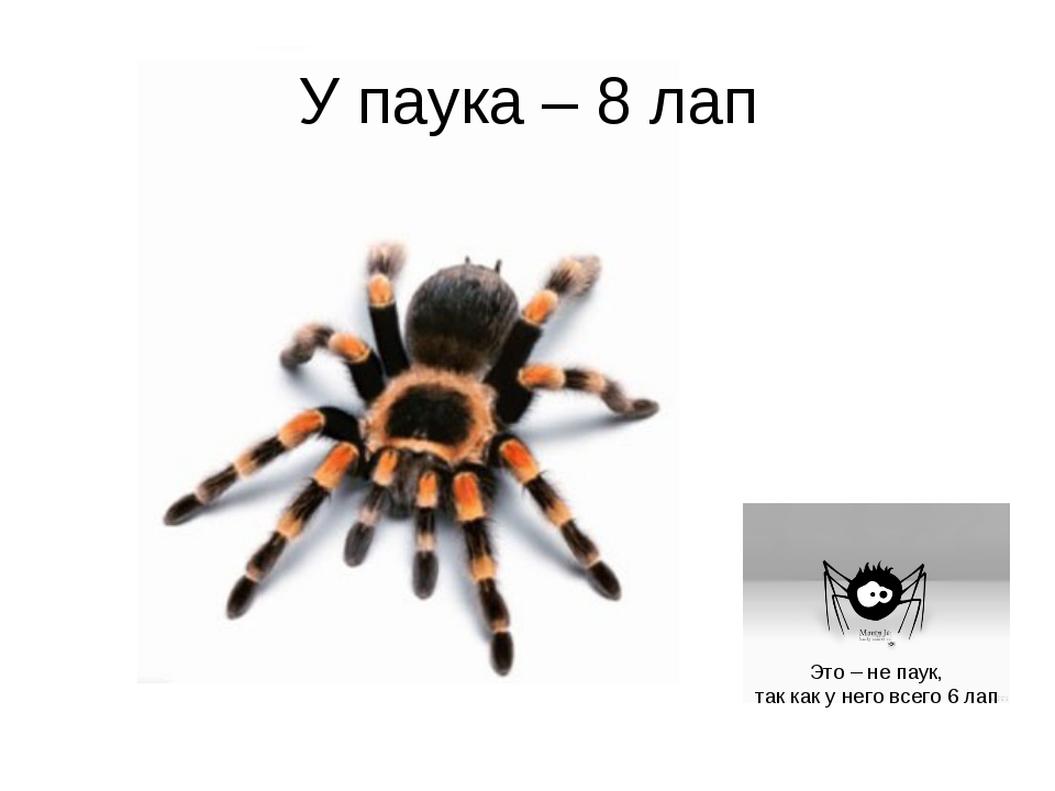 У паука – 8 лап Это – не паук, так как у него всего 6 лап