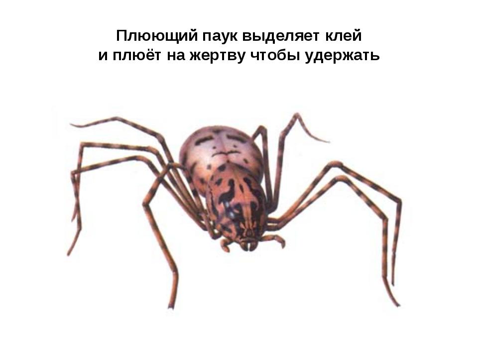 Плюющий паук выделяет клей и плюёт на жертву чтобы удержать