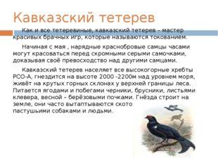 Кавказский тетерев Как и все тетеревиные, кавказский тетерев – мастер красивы