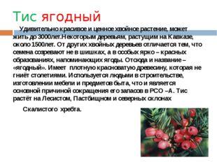Тис ягодный Удивительно красивое и ценное хвойное растение, может жить до 300