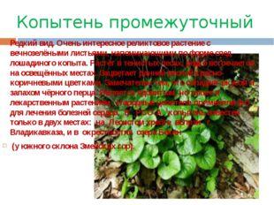 Копытень промежуточный Редкий вид. Очень интересное реликтовое растение с веч