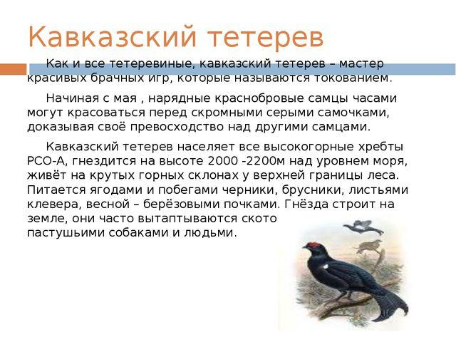 Кавказский тетерев Как и все тетеревиные, кавказский тетерев – мастер красивы...