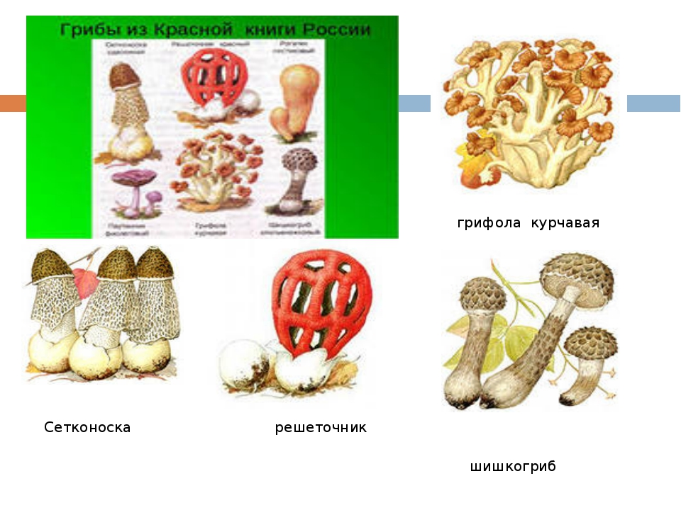 грибы грифола грифола курчавая Сетконоска решеточник шишкогриб