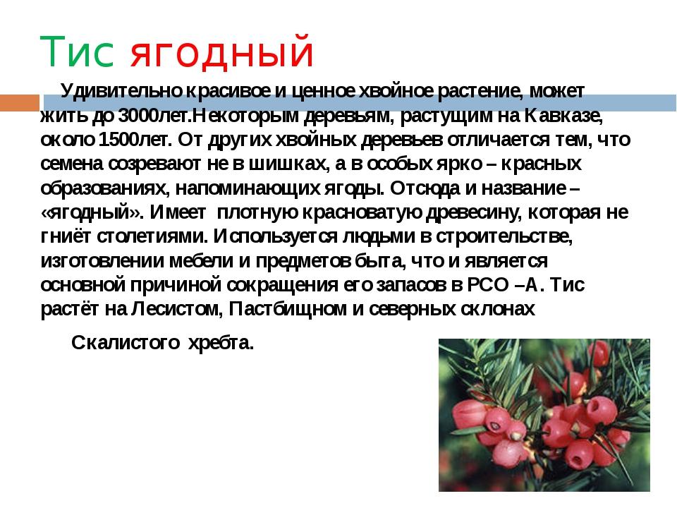 Тис ягодный Удивительно красивое и ценное хвойное растение, может жить до 300...