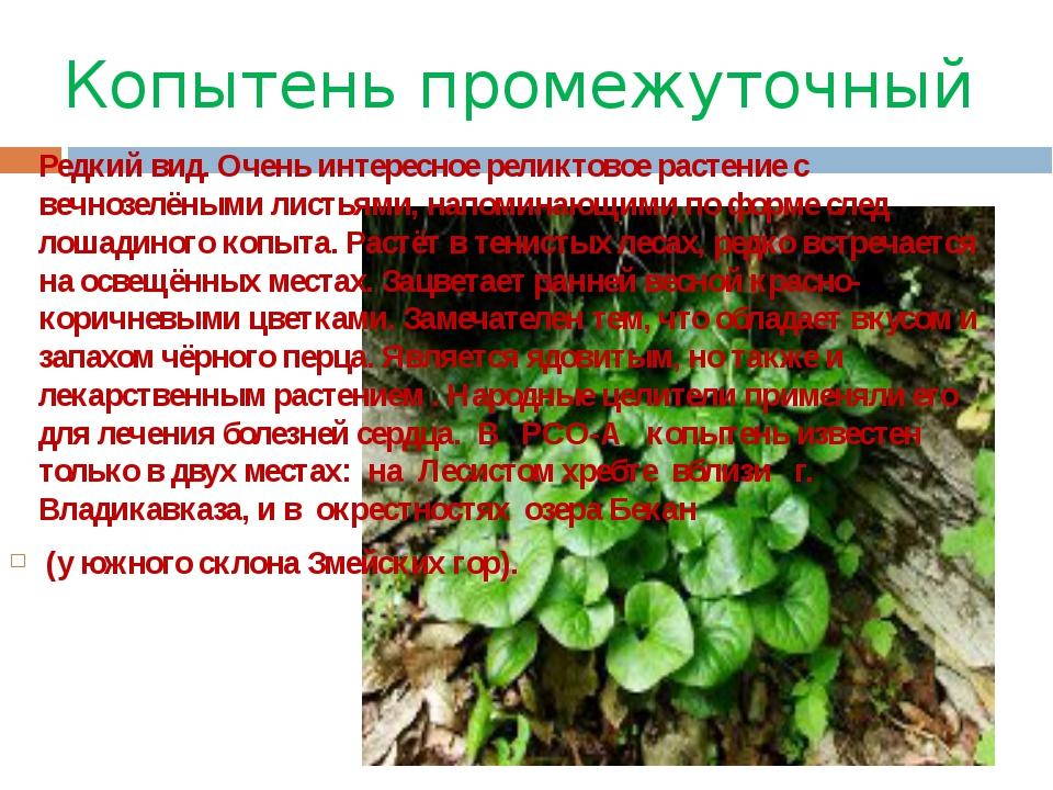 Копытень промежуточный Редкий вид. Очень интересное реликтовое растение с веч...