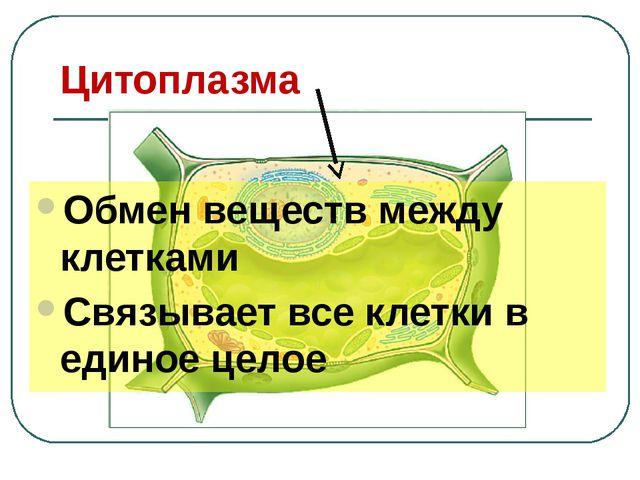 Цитоплазма Обмен веществ между клетками Связывает все клетки в единое целое