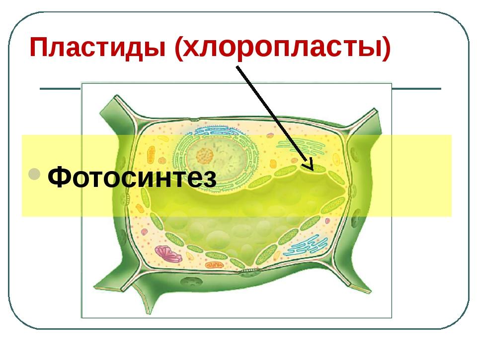 Пластиды (хлоропласты) Фотосинтез