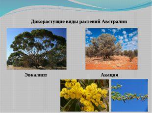 Дикорастущие виды растений Австралии Акация Эвкалипт