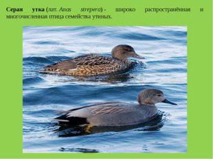 Серая утка(лат.Anas strepera)- широко распространённая и многочисленная пт