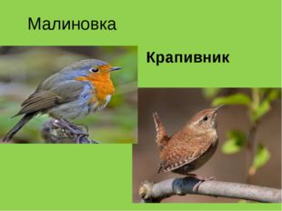Малиновка Крапивник
