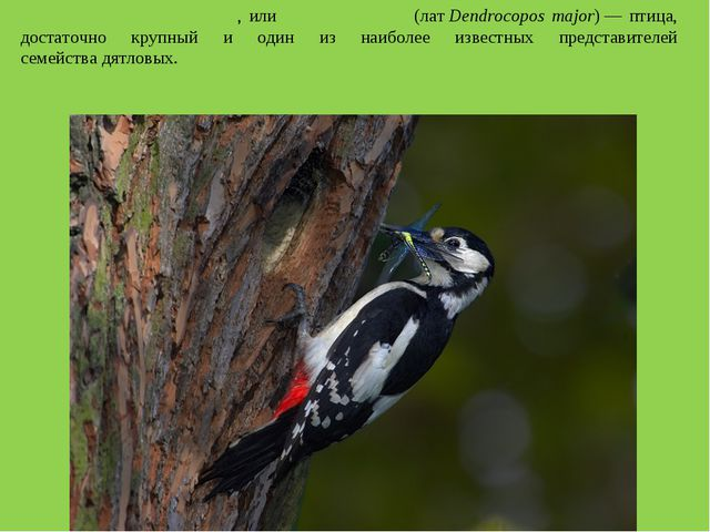 Большо́й пёстрый дя́тел, илипёстрый дя́тел(латDendrocopos major)— птица,...