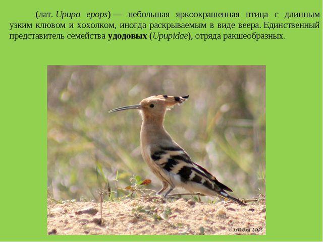 Удо́д(лат.Upupa epops)— небольшая яркоокрашенная птица с длинным узким клю...