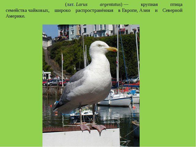 Серебри́стая ча́йка(лат.Larus argentatus)— крупная птица семействачайковы...