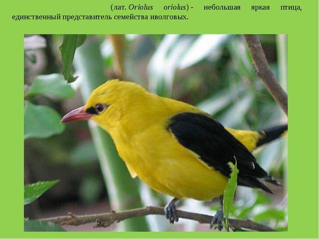 Обыкнове́нная и́волга(лат.Oriolus oriolus)- небольшая яркая птица, единств...