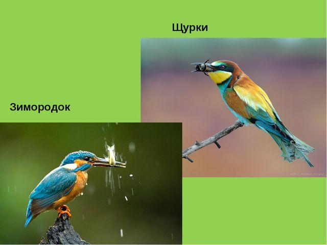 Зимородок Щурки