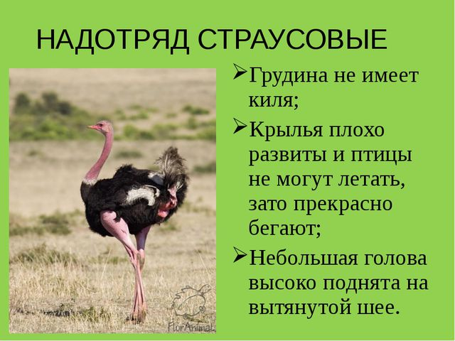 НАДОТРЯД СТРАУСОВЫЕ Грудина не имеет киля; Крылья плохо развиты и птицы не мо...