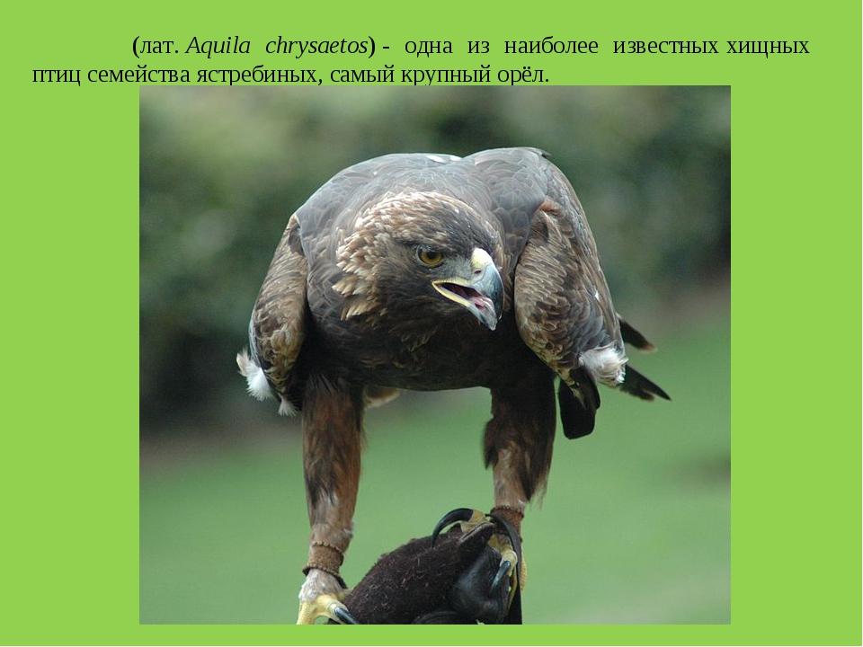 Бе́ркут (лат.Aquila chrysaetos)- одна из наиболее известныххищных птицсем...