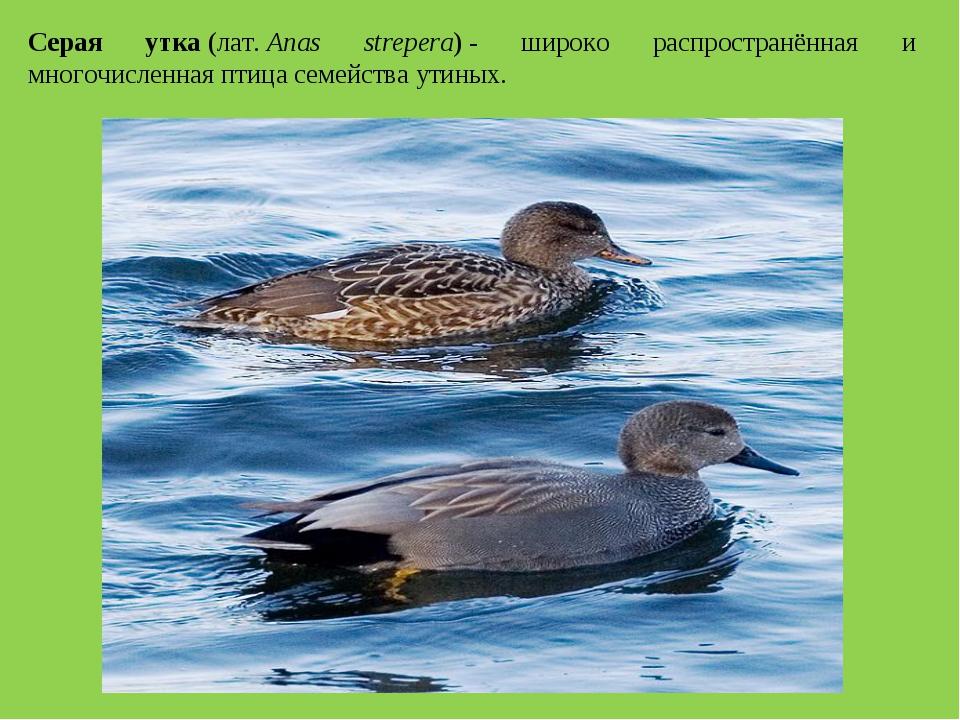 Серая утка(лат.Anas strepera)- широко распространённая и многочисленная пт...